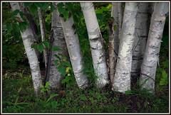 Birch Trees (Brian 104) Tags: birch trees grove white bark group