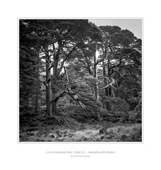 Caledonian Pine Forest, Am Monadh Dubh (Rense Haveman) Tags: pentaxk5 scotland2017 holiday2017 caledonianpineforest bw blackwhite scotland landscape trees dicranopinion vacciniopiceetea highcontrast square frame text mountains blackmountain bridgeoforchy