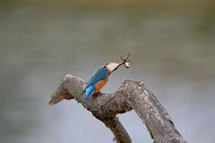 _ND55533_DxO.jpg (Pixelkeeper) Tags: bird eisvogel commonkingfisher wildlife