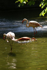 Mainz, Stadtpark, Flamingos (Municipal Park) (HEN-Magonza) Tags: mainz stadtpark municipalpark rheinlandpfalz rhinelandpalatinate germany deutschland flamingo