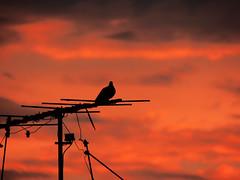 Sunday Morning (themathpires) Tags: birds pigeons urban urbano nature conceptual sky sunset pôrdosol céu