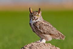 Great horned owl (knobby6) Tags: greathornedowl tigeroftheair raptor birdofprey wise california nikon bird