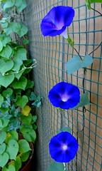 Kind of Blue (austexican718) Tags: morningglory texas garden flower vine plant blue