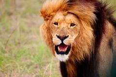 Lion (dreamer2207) Tags: wild nature canon600d 600d canon bottlierskopgamereserve bottlierskop safari sa southafrica lion