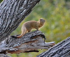 Slender Mongoose (tomfriedel1) Tags: mongoose slender insects for looking