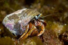 Hermit 3 (Shure Media) Tags: rockport massachusetts old garden beach hermit crab green barnacle nudibranch rock