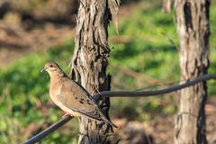 Bird in the Vineyard (Rodolfo Ribas) Tags: d021115 bird vineyards