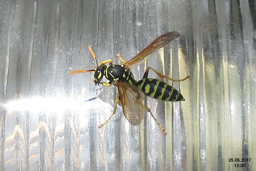 A rather fine wasp (MakGi)