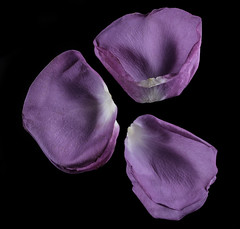 Reflecting On Shapes And Textures In Fading Purple Rose Petals (Bill Gracey 15 Million Views) Tags: petals rose rosa flower flor nature naturalbeauty offcameraflash blackbackground mirror mirrored reflections macrolens yongnuo yongnuorf603n softbox filllight sidelighting shapes shadows shadowshapes textures tabletopphotography homestudio color colorful