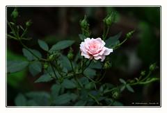 Eyecatcher (Abraham Jacob N) Tags: rose beautifulflower flower kottayam kerala india canon canon700d
