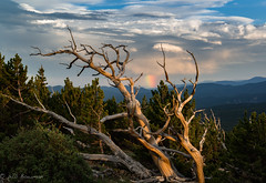 Holding onto the Sky (Bill Bowman) Tags: niwotridge mountainresearchstation colorado limberpines pinusflexilis sunset treeskeletons hangingon