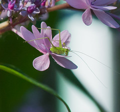 Year of the Cricket. (Omygodtom) Tags: texture bug insect cricket green flora elitebugs existinglight selectivefocus simple tamron90mm tamron macro bokeh flower flickr nikkor natural nature nikon dof digital d7100 garden hydrangea