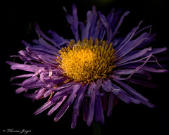 In the Darkness 0716 Copyrighted (Tjerger) Tags: nature beautiful beauty black bloom blooming closeup darkness flora floral flower garden macro plant purple single summer wisconsin yellow erigeron natural