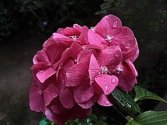 #Hydrangea (RenateEurope) Tags: renateeurope iphoneography 2017 hortensien pink flowers flora hydrangea awesomeblossoms