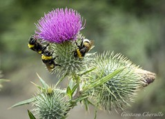 Tres abejorros (gustavocherullo) Tags: abejorros plantas animales flor cardos lagofontana chubut argentina fauna flora comiendo patagonia naturaleza