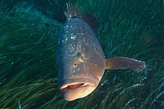 DSC09476 (Bakinax) Tags: portcros diving plongée underwater sousmarin