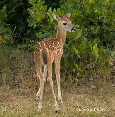 Fawn (Lindell Dillon) Tags: fawn deer whitetail wildlife nature oklahoma lindelldillon