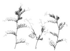 Azuré commun sur une vesce commune (delphine.cury) Tags: ink illustration encredechine papillon viciasativa polyommatusicarus azurécommun vescecommune
