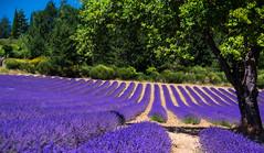 Couleur lavande (PierreG_09) Tags: alpesdehauteprovence lavande lavandin ラベンダー 薰衣草 lavender laventeli lavanda lavendel izpilikua λεβάντα vaucluse drôme sault
