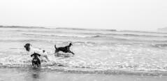 Runswick-Whitby.WEB-11 (LazenbyVisuals) Tags: dog dogs spaniels cocker springer beach walk walking runswick bay yorkshire coast dachshund black white mono monochrome monochromatic