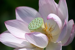 Lotus (Ichigo Miyama) Tags: 名前:ハス学名:nelumbo nucifera分類:ハス科 nelumbonaceae ハス属 nelumbo古河公方公園ハス nelumbonucifera lotus flower plant 古河公方公園 ハス