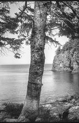 connifer tree, coastline, granite bluff, Owl's Head, Maine, FED 4, Industar 61, Arista.Edu 200, Moersch Eco Film Developer, 7.17.17 (steve aimone) Tags: conifer conifertree treetrunk bluff cliff granitebluff atlanticocean shoreline owlshead midcoast maine fed4 russian soviet rangefinder industar61 35mm film aristaedu200 moerschecofilmdeveloper monochrome monochromatic blackandwhite landscape coastline