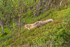 Downhill Fox (andrius_) Tags: fox