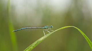 White-Legged Damselfly or Blue Featherleg, male (Platycnemis pennipes)
