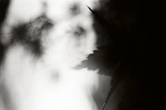 Sammar (Yosh the Fishhead) Tags: minolta minoltasrt101 minoltasrt srt101 carlzeiss carlzeissjena carl zeiss jena flektogon 35mm f28 flektogon35mmf28 film fujifilm fujifilmgyomuyo100 tokyo japan monochrome blackwhite blackandwhite bw macro closeup plant leaves rain raindrops dof bokeh