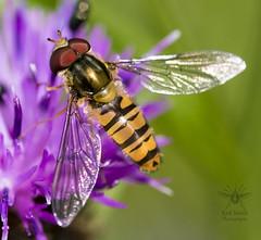 ♂ Marmalade Fly on Knapweed (roderick smith) Tags: marmaladefly hoverfly episyrphusbalteatus wilfordclaypitnaturereserve nottinghamshirewildlifetrust canon eos80d sigma105mmf28osmacro