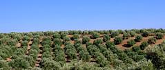 A Little Greenery (Keith Mac Uidhir 김채윤 (Thanks for 4.5m views)) Tags: meknes morocco maroc green tree trees grove farm blue sky country countryside meknès
