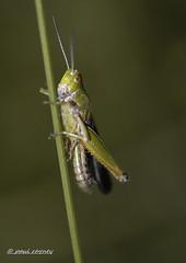 _DSC3629 - Copy (Paul Rayney) Tags: insect bug grasshopper cricket close up macro green nikon d7100 sigma105