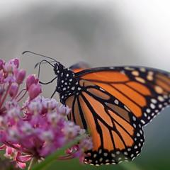 Monarch From The Mist (Lala Lands) Tags: monarchbutterfly danausplexippus swampmilkweed asclepiasincarnata lymanpond smithcollege summereveninglight sunset bokeh shallowdof nikkor105mmf28 nikond7200