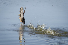 Takeoff (Brian Laskowski) Tags: duck wildlife mapleriver waterfowl flight michigan