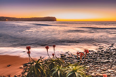 Sunrise Seascape with Aloe Vera in the foreground (Merrillie) Tags: daybreak shoreline sand sunrise macmastersbeach nature australia bouddipeninsula newsouthwales sea earlymorning nsw beach clouds centralcoast sky water photography coastal outdoors waterscape dawn coast seascape landscape aloevera flowers plant