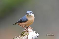 Eurasian Nuthatch (Mike Slade.) Tags: eurasiannuthatch sittaeuropaea bird stover country parknewton abbotdevonenglandnikonsigma 150 500mike slade