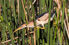 Least Bittern in the Reeds (Mark Schocken) Tags: ixobrychusexilis reeds bittern least markschocken canon80d gg
