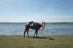 break time (elisachris) Tags: natur nature pferd horse plauersee mecklenburgvorpommern ricohgr