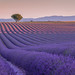 One     -      (Un seul) (Jerry Fryer) Tags: landscape lavender provence valensole lonetree morninglight firstlight curves canon 5dsr