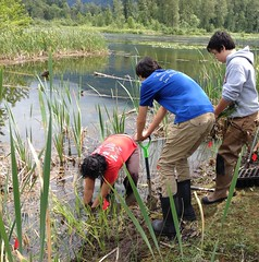 Volunteers planting previous treatment sites (BC Wildlife Federation's WEP) Tags: outreach public yellowflagiris bcwf education wep wetlandseducationprogram invasive species control research wetland bcwildlifefederation cheamlake cheam rosedale chilliwack