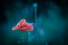 Time to say Goodbye (ursulamller900) Tags: pentacon28100 poppy mohn bokeh red blue flower summer blume