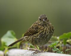 Juvenile Dunnock (jonny.andrews65) Tags: dunnock bird nikon d7200 200500 vr newtownards kiltonga duck pond