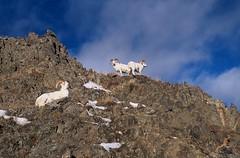 Dall sheep rams on the ridge  #0116705 (izurutoki) Tags: dall sheep white animal