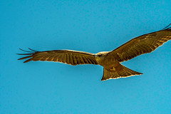 2017.06.20.3996 Black Kite (Brunswick Forge) Tags: bird birds tanzania africa wildlife winter nature outdoor outdoors inmotion d500 air sky