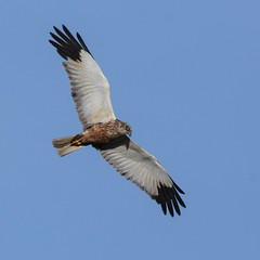 Bruine Kiekendief (reneadelerhof) Tags: hongarije magyarorszag marsh harrier vogel bird birdofprey hungary roofvogel