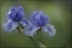 Luz y color (antoniocamero21) Tags: iris flores color foto sony macro azul composición luz verde