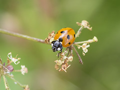 Seven-spot Ladybird (sivaD nhoJ) Tags: ladybird sevenspotladybird cocinellaseptempuncata coccinellidae beetle ladybug 7spotladybird insect invertebrate arthropod animal macro nature wildlife 2017
