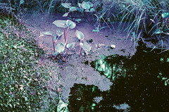 zied ūdens (inmno) Tags: lomochrome purple lomography aerochrome minolta ishootfilm
