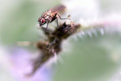 The fly (Nikonphotography D750) Tags: nikonphotography nikond750 nikon makrofotografie macrophotography macrostilllife stillifephotography makro nature naturephotography art artwork photoart fly fliege bokeh