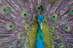 Portrait of a beautiful peacock (phuong.sg@gmail.com) Tags: animal background beak beautiful beauty bird blue bright ceremony cockerel colorful dancing day descriptive detail display elegance elegant exhibition eye feather feathers green head horizontal indian male multi nature neck pattern peacock peafowl pheasant plumage pretty pride ritual showing tropical turquoise vibrant vitality wildlife zoo
